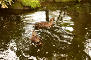千秋公園の池のカモ