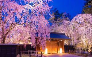 角館武家屋敷通りのシダレ桜のライトアップ