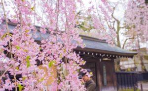 角館のシダレ桜