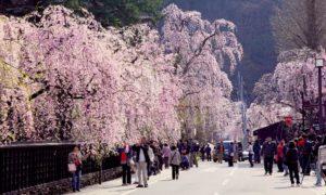 角館武家屋敷通りのシダレ桜