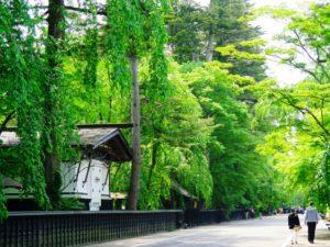 角館のモミの巨木