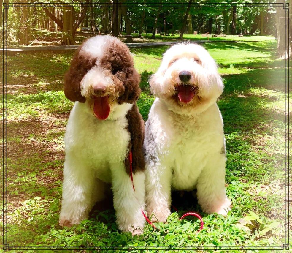 愛犬ヒカルとエトワールの画像